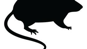 עכבר מצוי בתוך העיר